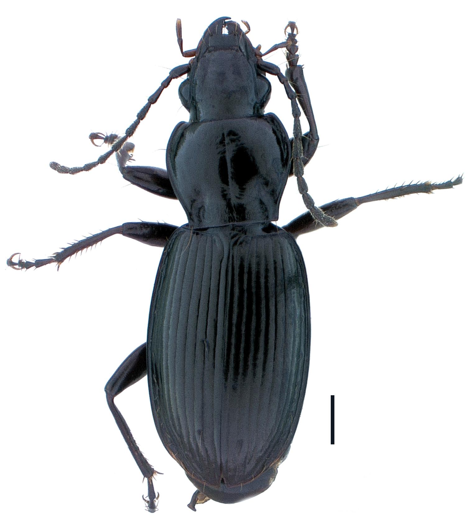 Pterostichus (Pseudoferonina) bousqueti Holotype