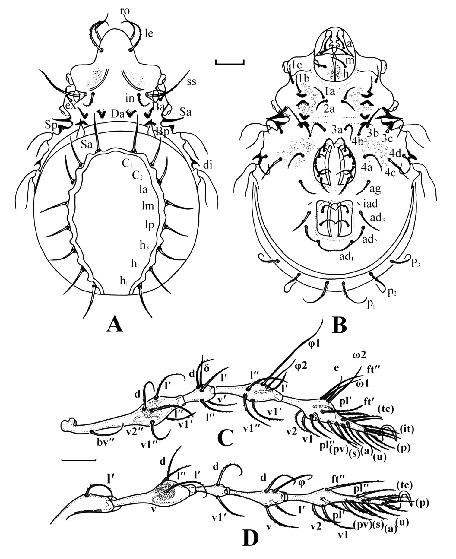 A adult, dorsal view (100 μm) B adult, ventral view (100 μm) C leg I (100 ...