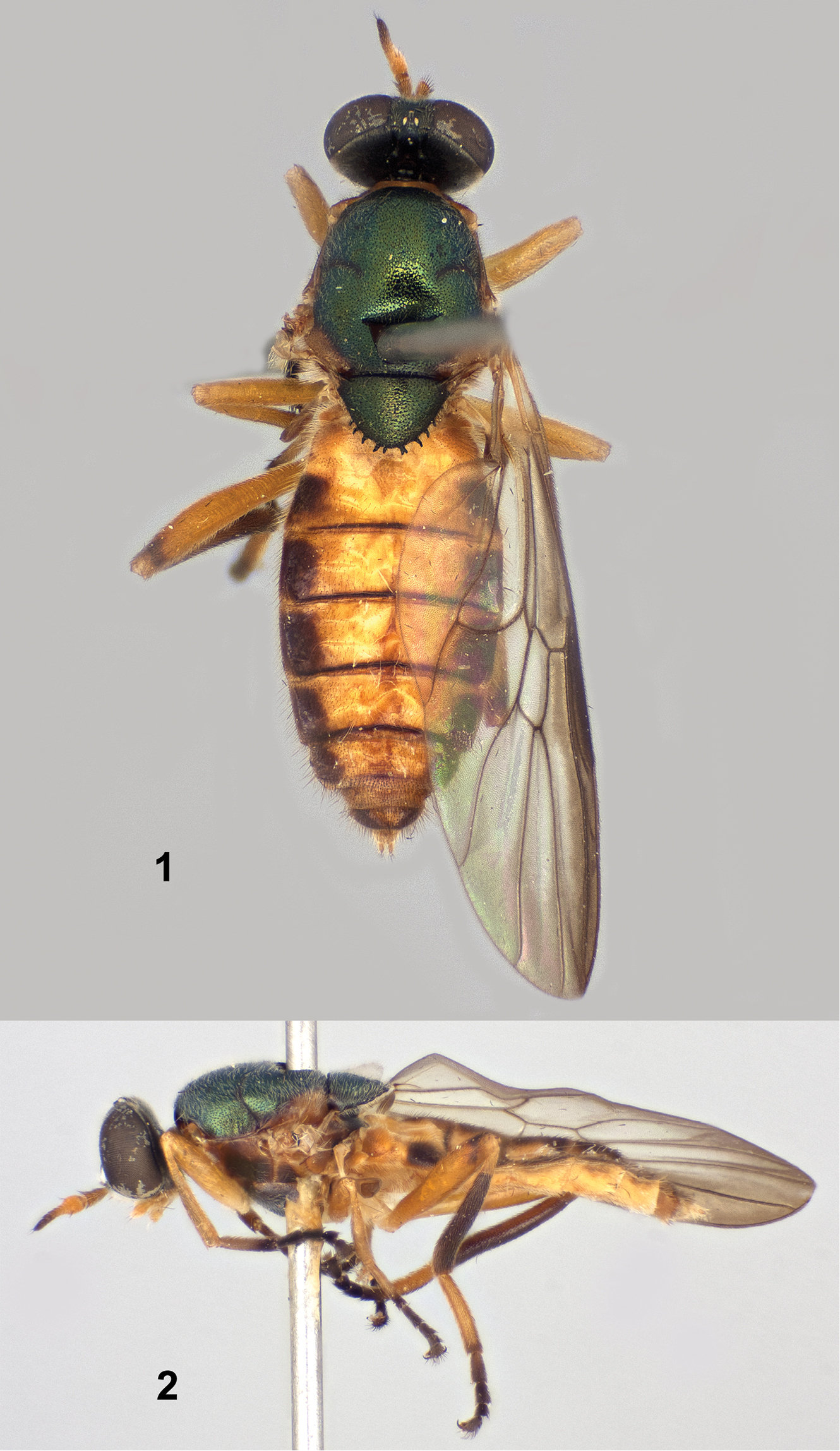Paraberismyia chiapas Woodley - Female holotype (Figures 1 & 2 from Woodley, 2013)